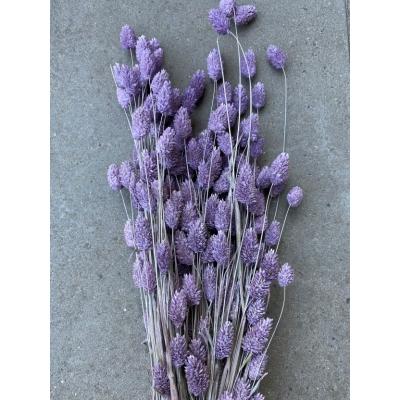 Gedroogde wilde Phalaris paars
